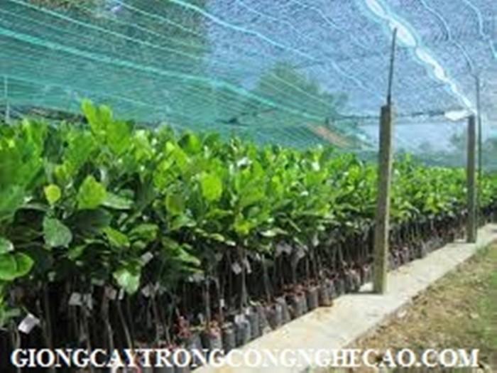 Kỹ thuật trồng và chăm sóc Mít Thái ra trái quanh năm19