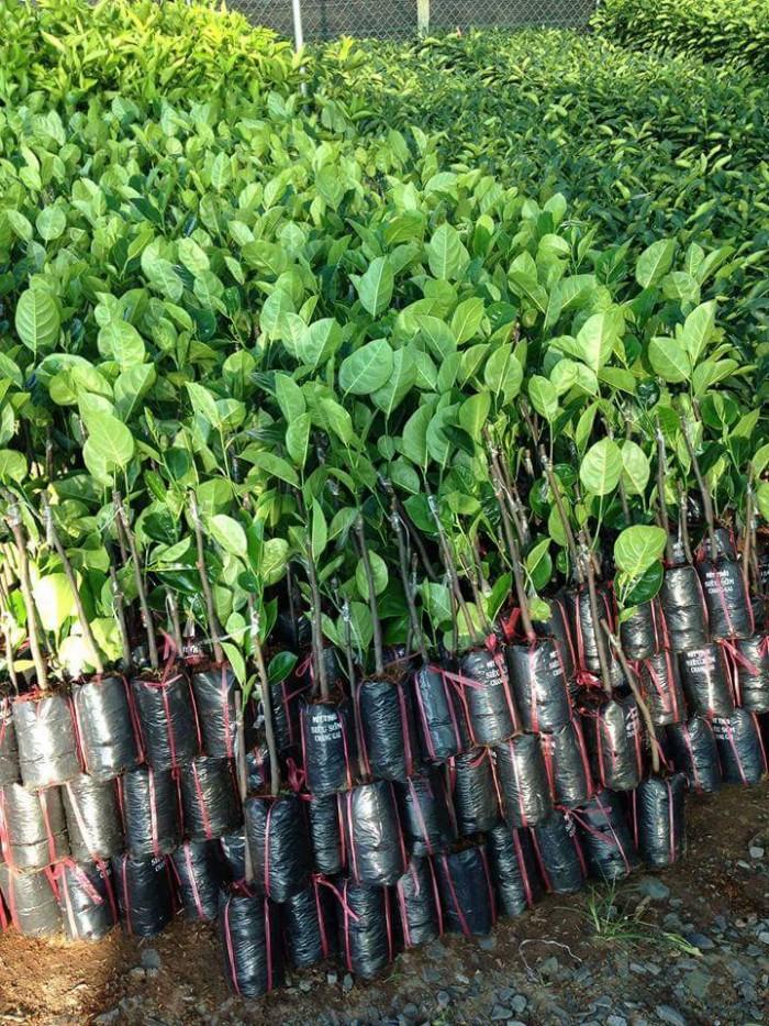 Kỹ thuật trồng và chăm sóc Mít Thái ra trái quanh năm12