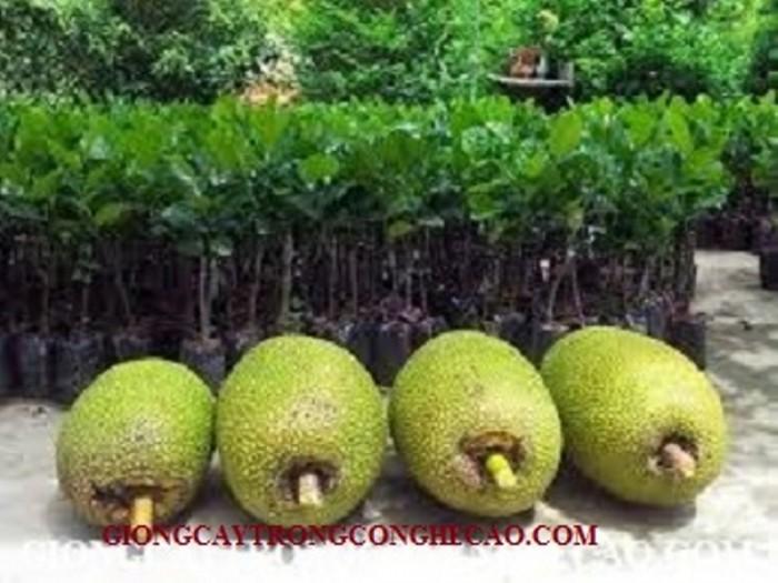 Kỹ thuật trồng và chăm sóc Mít Thái ra trái quanh năm22