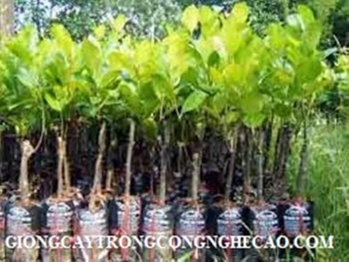 Kỹ thuật trồng và chăm sóc Mít Thái ra trái quanh năm20