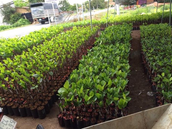 Kỹ thuật trồng và chăm sóc Mít Thái ra trái quanh năm21
