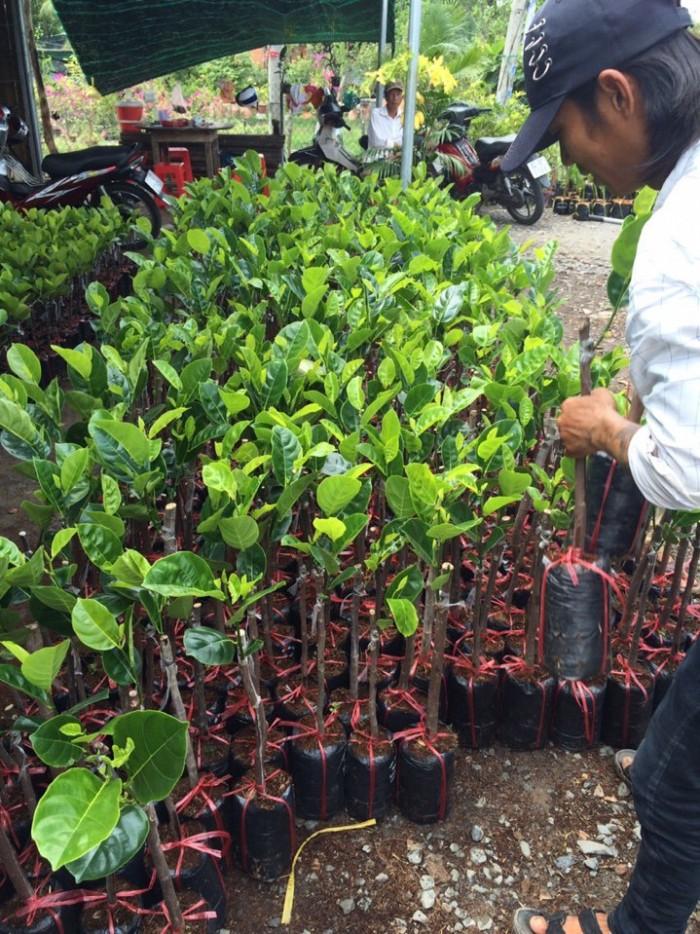 Kỹ thuật trồng và chăm sóc Mít Thái ra trái quanh năm11
