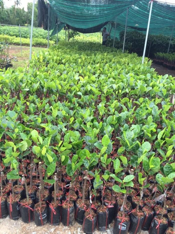 Kỹ thuật trồng và chăm sóc Mít Thái ra trái quanh năm2