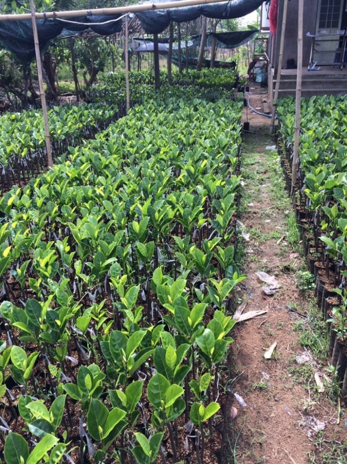 Kỹ thuật trồng và chăm sóc Mít Thái ra trái quanh năm6