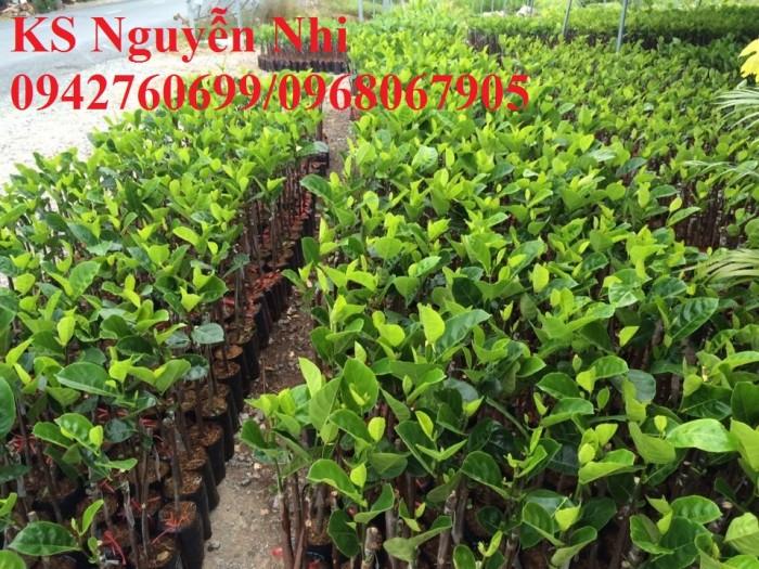 Kỹ thuật trồng và chăm sóc Mít Thái ra trái quanh năm17