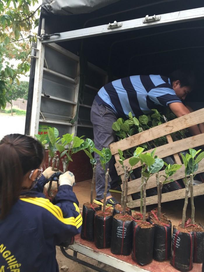 Kỹ thuật trồng và chăm sóc Mít Thái ra trái quanh năm0