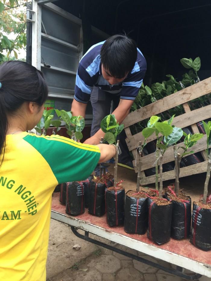 Kỹ thuật trồng và chăm sóc Mít Thái ra trái quanh năm8