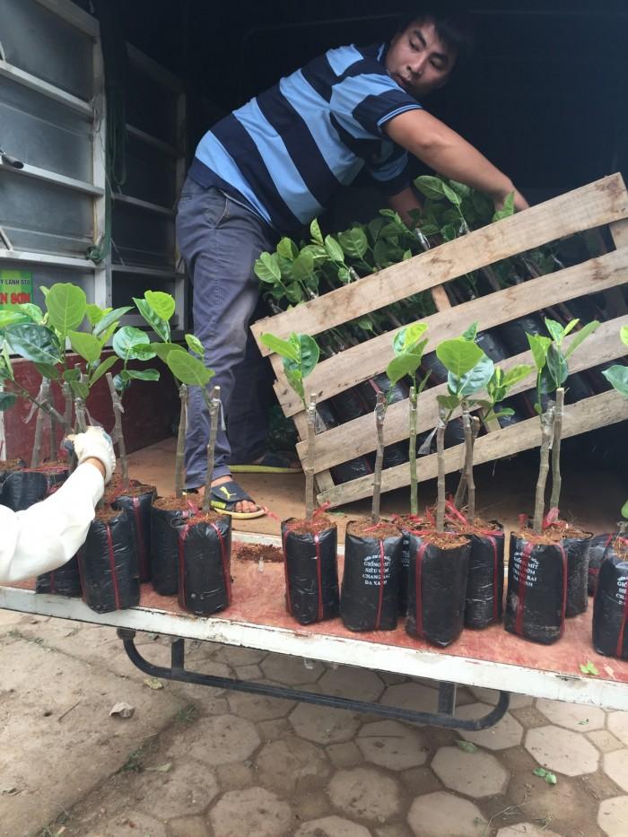 Kỹ thuật trồng và chăm sóc Mít Thái ra trái quanh năm3