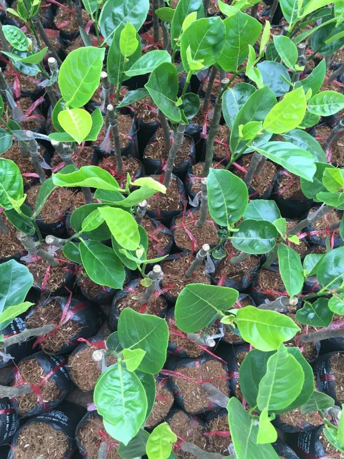 Kỹ thuật trồng và chăm sóc Mít Thái ra trái quanh năm5