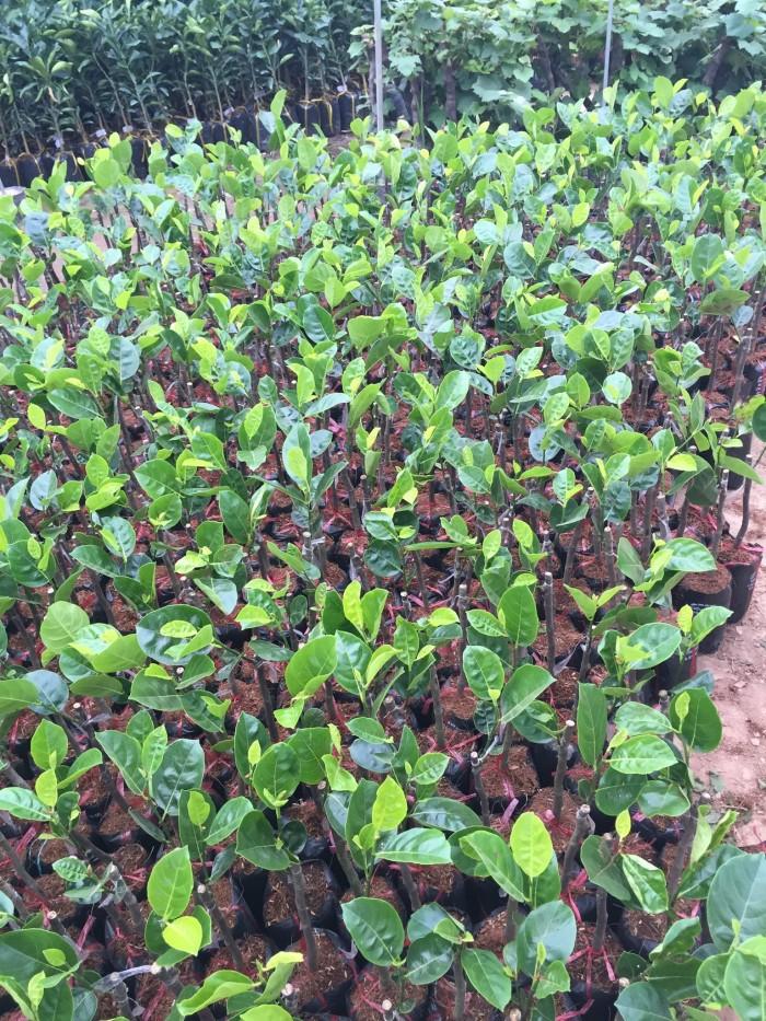 Kỹ thuật trồng và chăm sóc Mít Thái ra trái quanh năm4