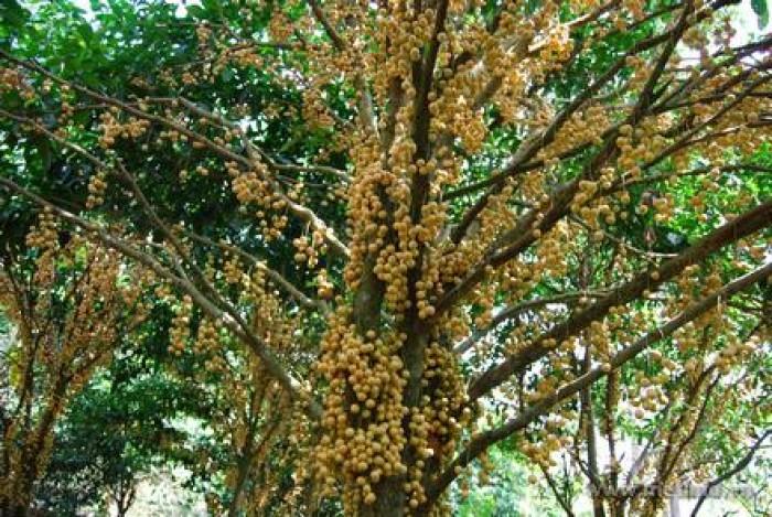 Cây giống bòn bon, cây giống dâu da đất, giống cây bòn bon, giống cây dâu da đất5
