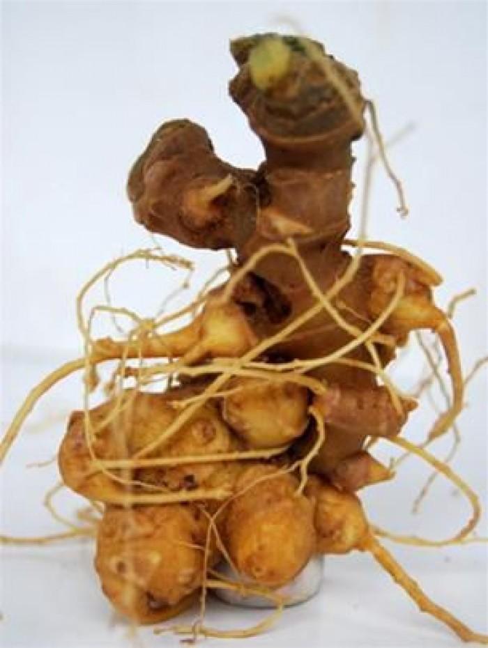 Sâm Ngọc Linh, cây dược liệu quý, chuyên cung cấp giống cây dược liệu14