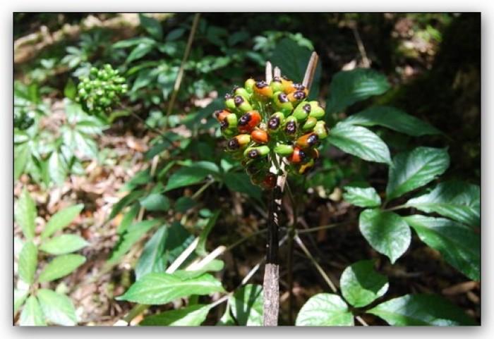 Sâm Ngọc Linh, cây dược liệu quý, chuyên cung cấp giống cây dược liệu11