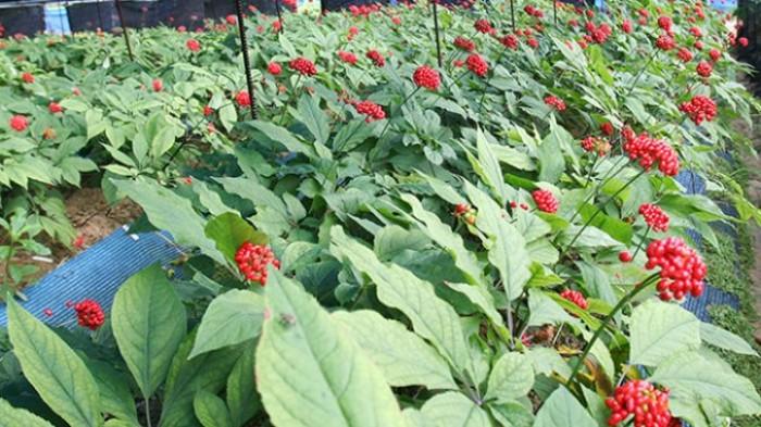 Sâm Ngọc Linh, cây dược liệu quý, chuyên cung cấp giống cây dược liệu10