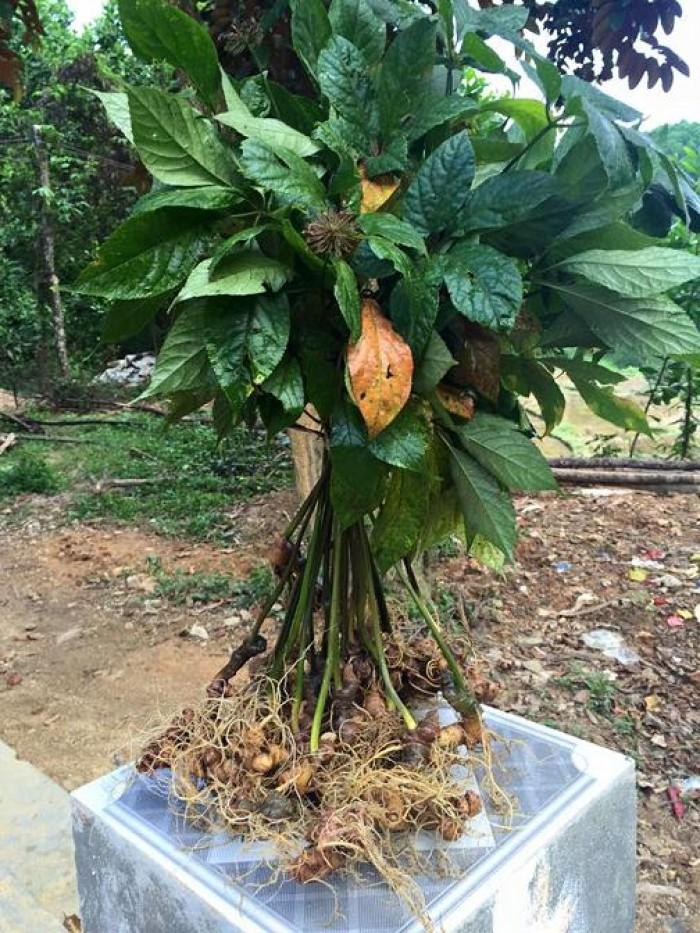 Sâm Ngọc Linh, cây dược liệu quý, chuyên cung cấp giống cây dược liệu5