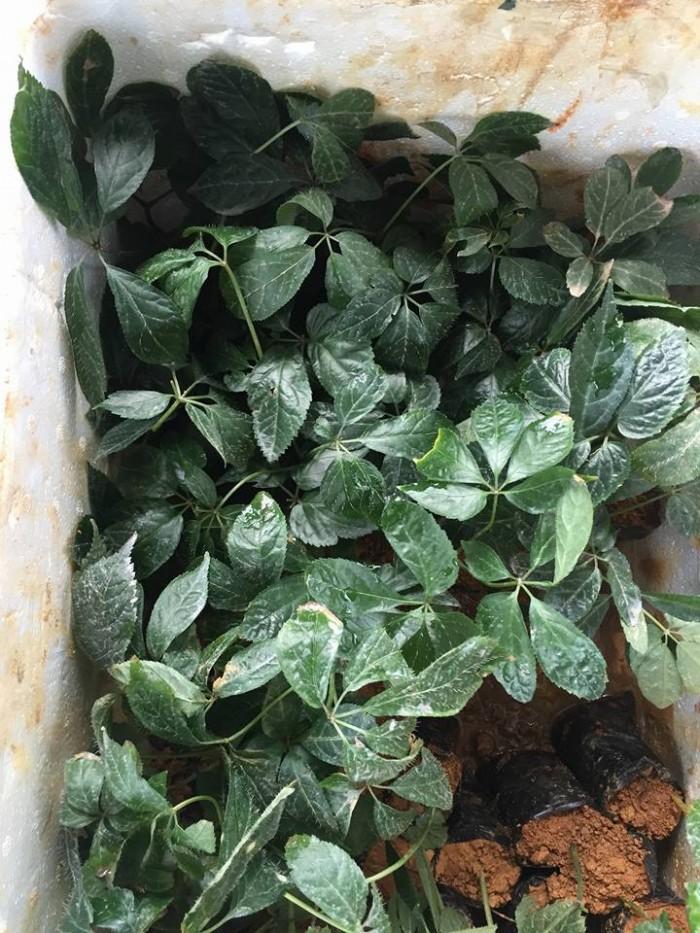 Sâm Ngọc Linh, cây dược liệu quý, chuyên cung cấp giống cây dược liệu3