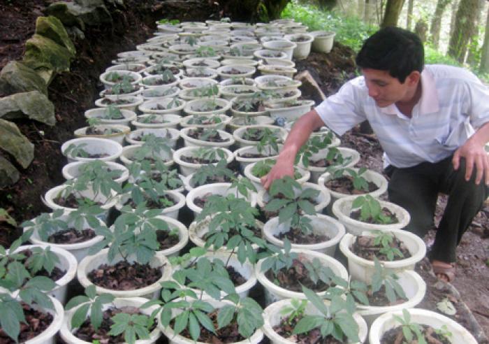 Sâm Ngọc Linh, cây dược liệu quý, chuyên cung cấp giống cây dược liệu9