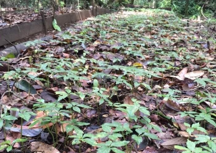 Sâm Ngọc Linh, cây dược liệu quý, chuyên cung cấp giống cây dược liệu8