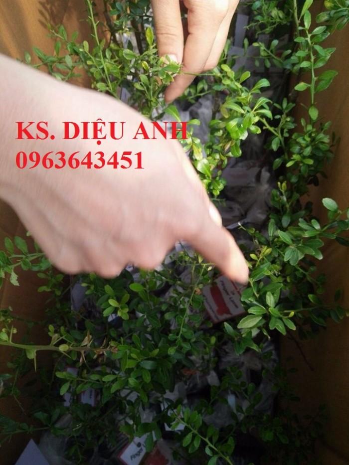 Chuyên cây mới lạ: chanh ngón tay, chuối đỏ Đăcca, chuối tiêu đỏ, cây xoài tím, xoài Úc10