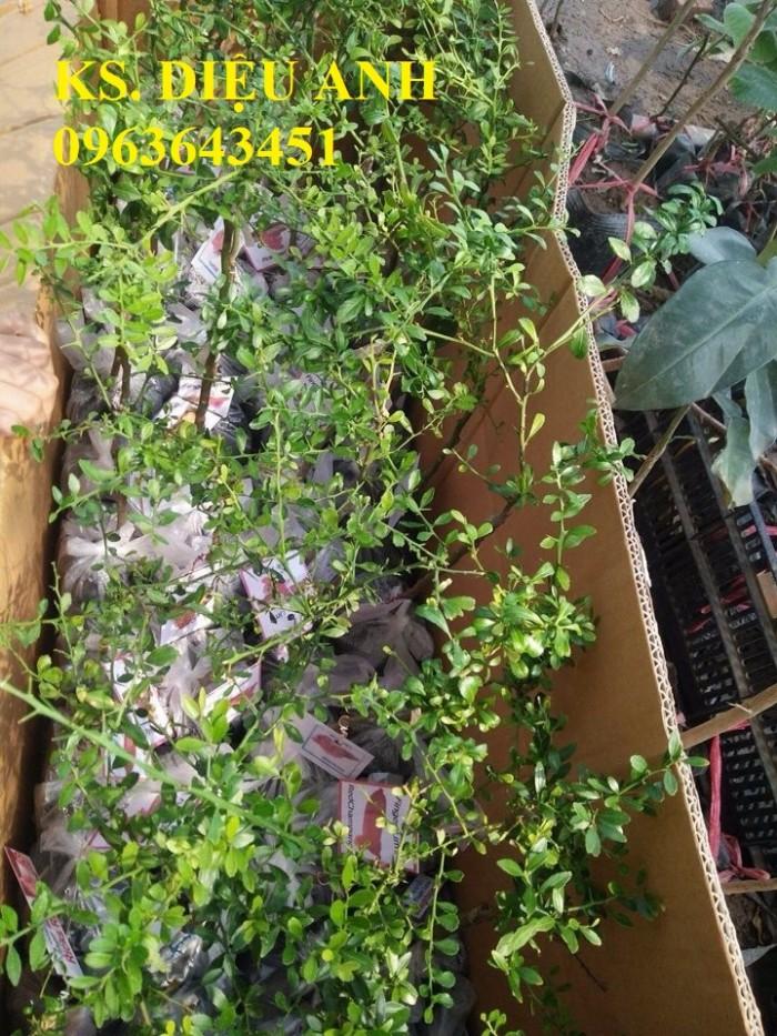 Chuyên cây mới lạ: chanh ngón tay, chuối đỏ Đăcca, chuối tiêu đỏ, cây xoài tím, xoài Úc13