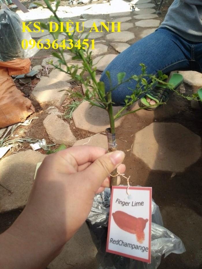 Chuyên cây mới lạ: chanh ngón tay, chuối đỏ Đăcca, chuối tiêu đỏ, cây xoài tím, xoài Úc15