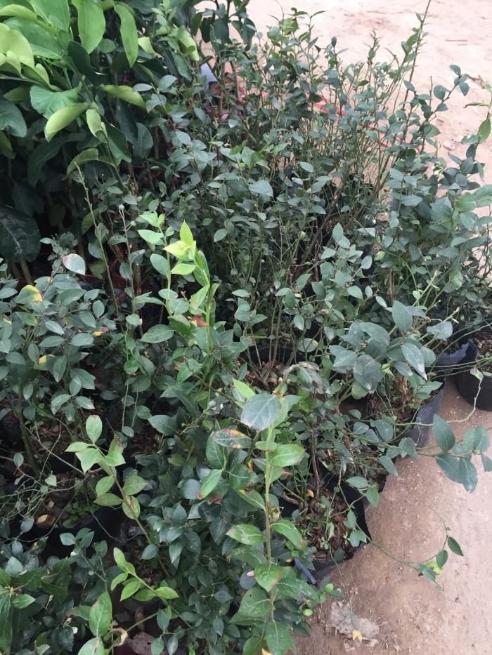 Cây Giống Việt Quất, Giống Cây Việt Quất, Cây Việt Quất Giống, Chuẩn Giống.1