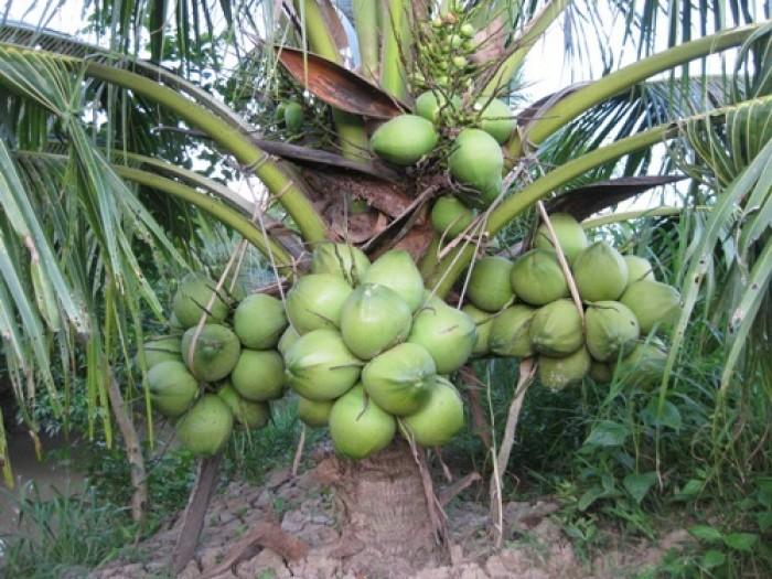 Cây giống dừa xiêm lùn, giống cây dừa xiêm lùn, dừa xiêm xanh lùn, chuẩn giống.4