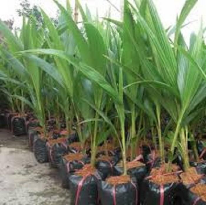 Cây giống dừa xiêm lùn, giống cây dừa xiêm lùn, dừa xiêm xanh lùn, chuẩn giống.2