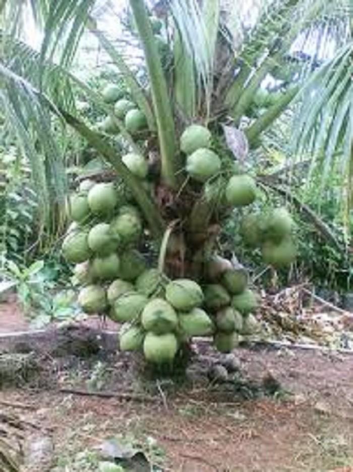 Cây giống dừa xiêm lùn, giống cây dừa xiêm lùn, dừa xiêm xanh lùn, chuẩn giống.3