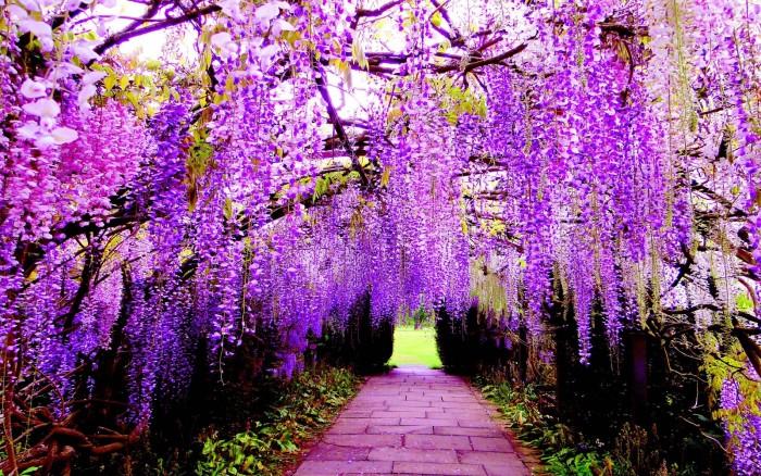 Cây giống hoa tử đằng, giống cây hoa tử đằng, cây hoa fuji.