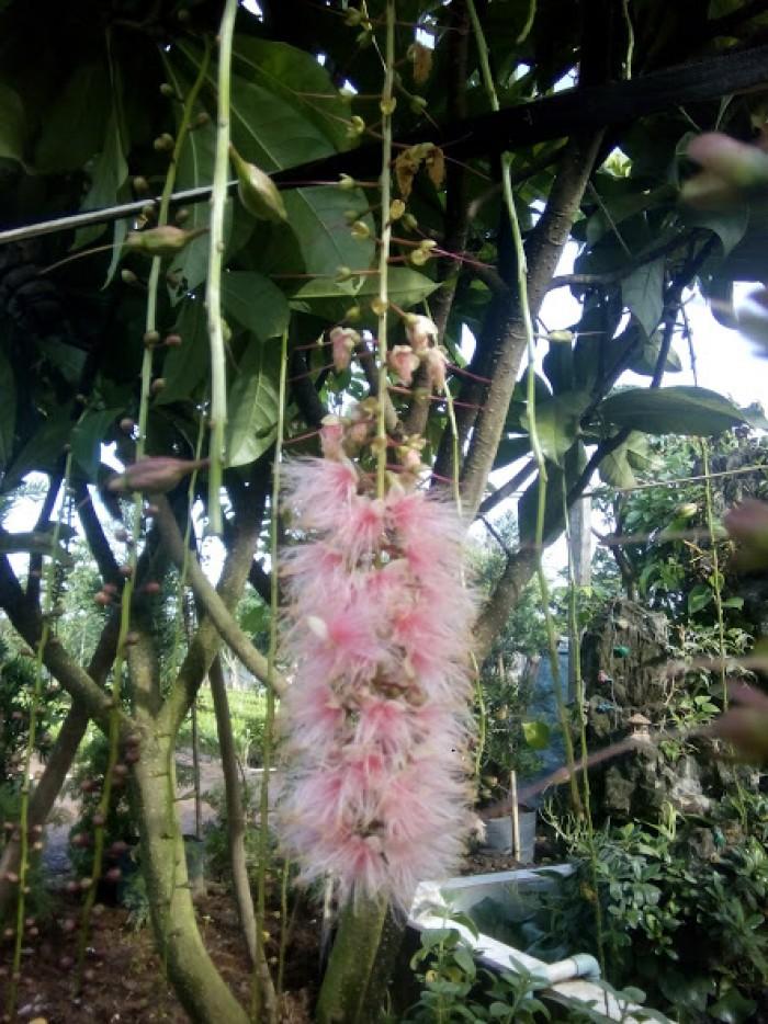Hoa của loại lộc vừng hoa to5