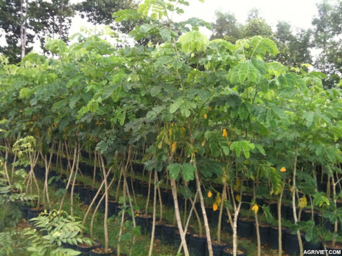 Cây me tây (cao khoảng 1.5m)0