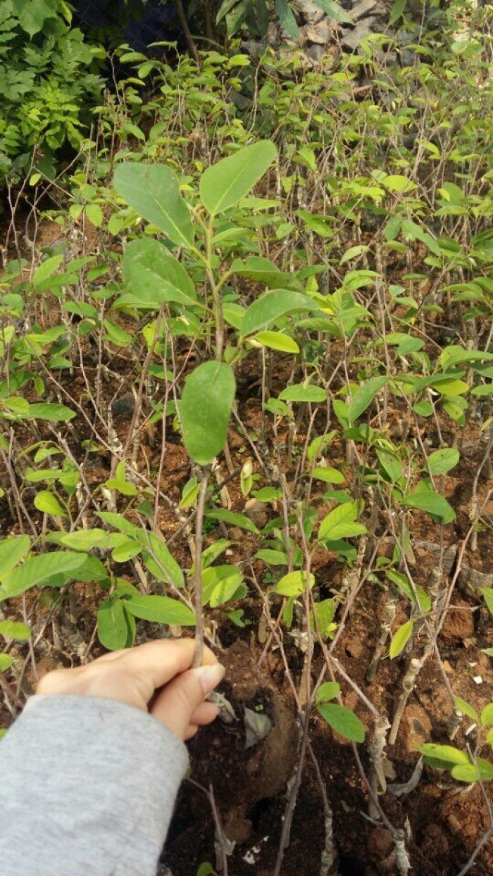 Cây giống na bở Đài Loan, giống cây na bở Đài Loan, cây na bở, na Đài Loan2