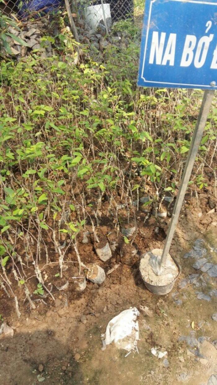 Cây giống na bở Đài Loan, giống cây na bở Đài Loan, cây na bở, na Đài Loan0