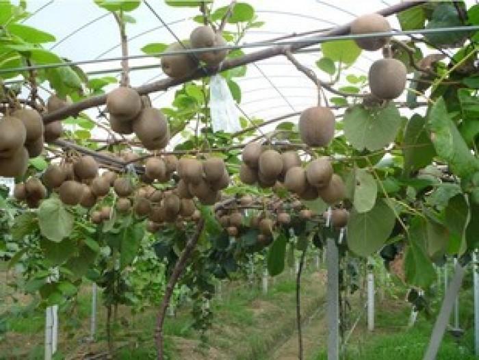 Cây giống kiwi, giống cây kiwi, cây kiwi nhập khẩu, chuẩn giống, số lượng lớn.2