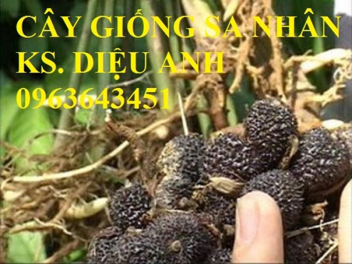 Chuyên cây giống, hạt giống: sâm ngọc linh, sa nhân tím, xạ đen, số lượng lớn, hỗ trợ bao tiêu đầu0