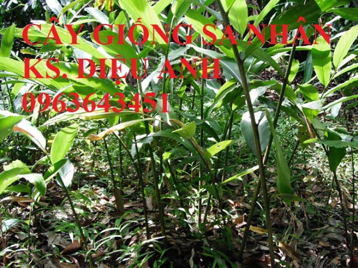Chuyên cây giống, hạt giống: sâm ngọc linh, sa nhân tím, xạ đen, số lượng lớn, hỗ trợ bao tiêu đầu1