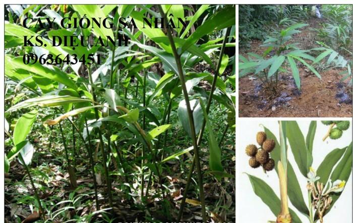 Chuyên cây giống, hạt giống: sâm ngọc linh, sa nhân tím, xạ đen, số lượng lớn, hỗ trợ bao tiêu đầu2
