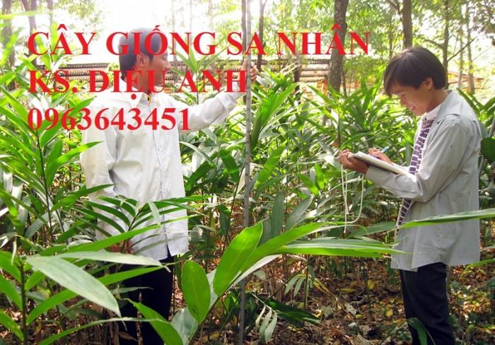 Chuyên cây giống, hạt giống: sâm ngọc linh, sa nhân tím, xạ đen, số lượng lớn, hỗ trợ bao tiêu đầu3