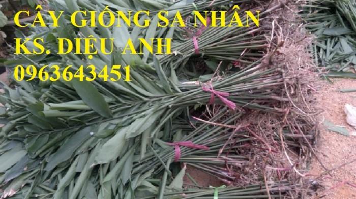 Chuyên cây giống, hạt giống: sâm ngọc linh, sa nhân tím, xạ đen, số lượng lớn, hỗ trợ bao tiêu đầu5