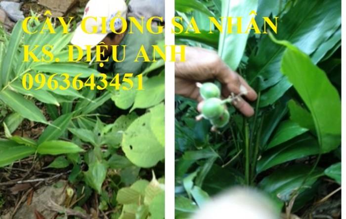 Chuyên cây giống, hạt giống: sâm ngọc linh, sa nhân tím, xạ đen, số lượng lớn, hỗ trợ bao tiêu đầu6