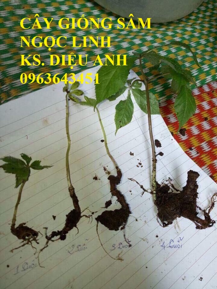 Chuyên cây giống, hạt giống: sâm ngọc linh, sa nhân tím, xạ đen, số lượng lớn, hỗ trợ bao tiêu đầu8