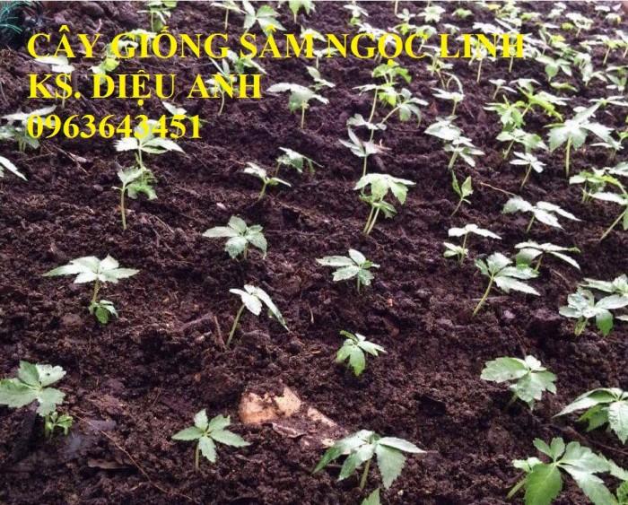 Chuyên cây giống, hạt giống: sâm ngọc linh, sa nhân tím, xạ đen, số lượng lớn, hỗ trợ bao tiêu đầu7