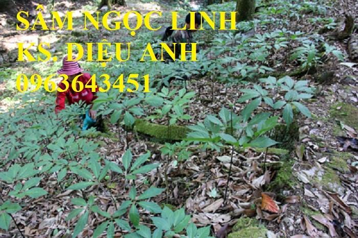 Chuyên cây giống, hạt giống: sâm ngọc linh, sa nhân tím, xạ đen, số lượng lớn, hỗ trợ bao tiêu đầu9