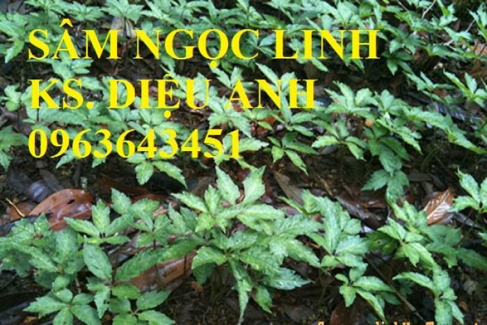 Chuyên cây giống, hạt giống: sâm ngọc linh, sa nhân tím, xạ đen, số lượng lớn, hỗ trợ bao tiêu đầu15