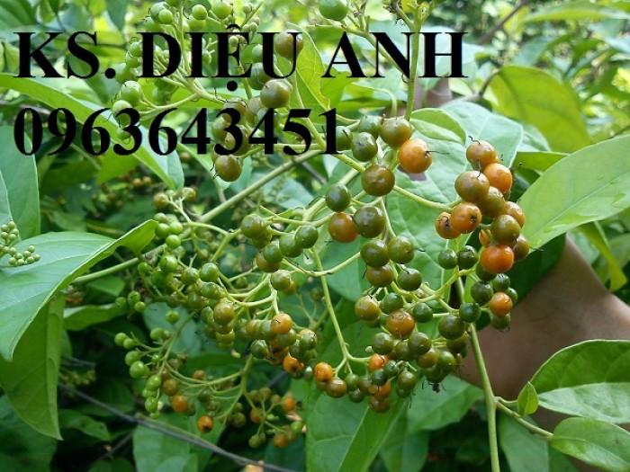 Chuyên cây giống, hạt giống: sâm ngọc linh, sa nhân tím, xạ đen, số lượng lớn, hỗ trợ bao tiêu đầu25