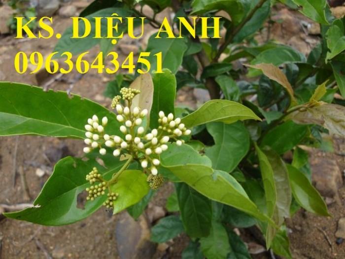 Chuyên cây giống, hạt giống: sâm ngọc linh, sa nhân tím, xạ đen, số lượng lớn, hỗ trợ bao tiêu đầu27
