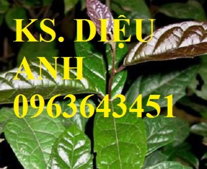 Chuyên cây giống, hạt giống: sâm ngọc linh, sa nhân tím, xạ đen, số lượng lớn, hỗ trợ bao tiêu đầu28