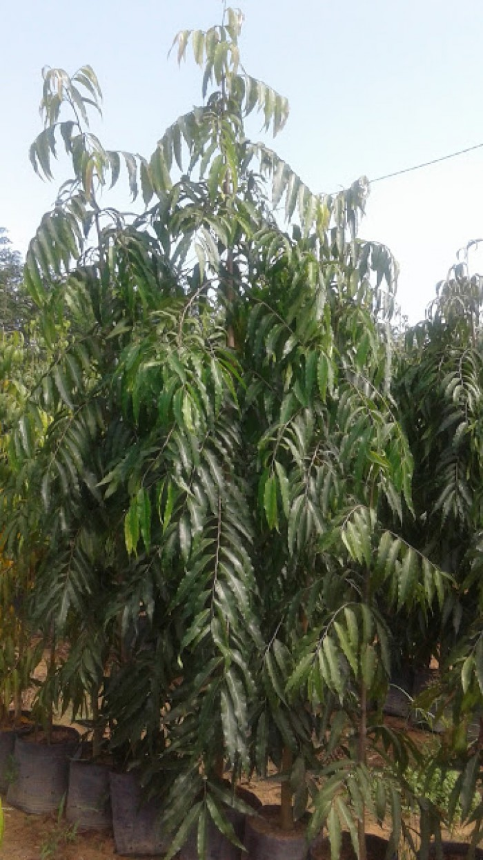 Cây Hoàng Nam- Chiều cao khoảng 2.5m0