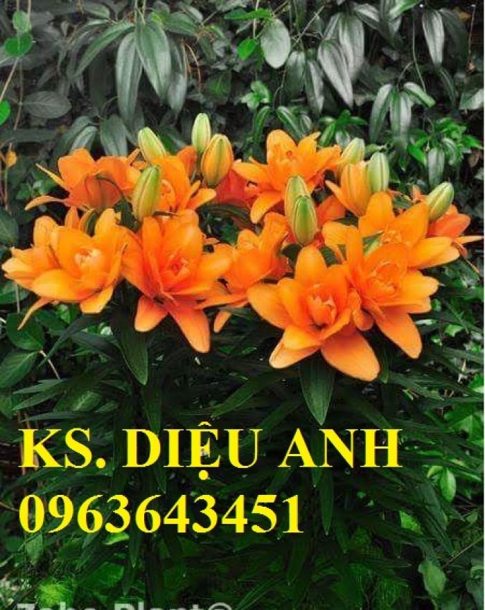 Chuyên sỉ, lẻ củ giống hoa ly tết, củ hoa ly đủ màu, số lượng lớn, chất lượng cao, giao toàn quốc5